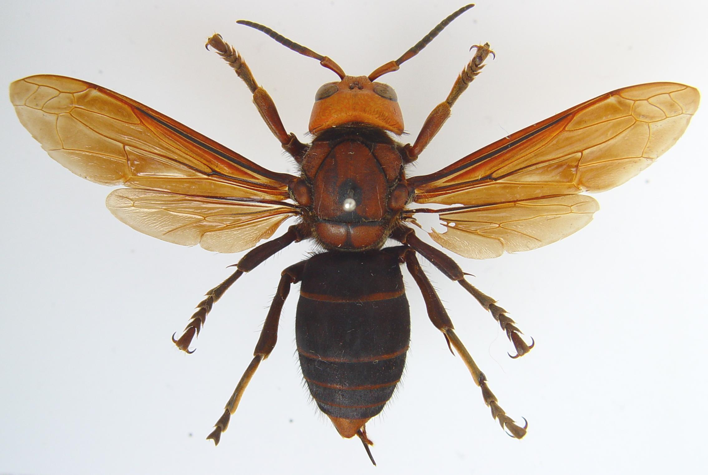 giant hornet texas